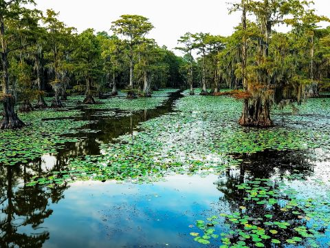 Clear Path thru Lily Pads and Cypress Trees Mark Canoe Path in Caddo Lake