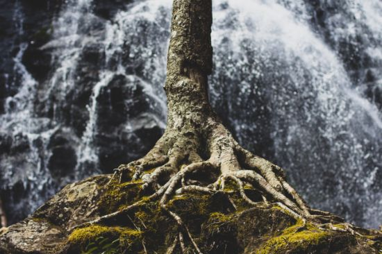 tree with roots in front of a waterfall
